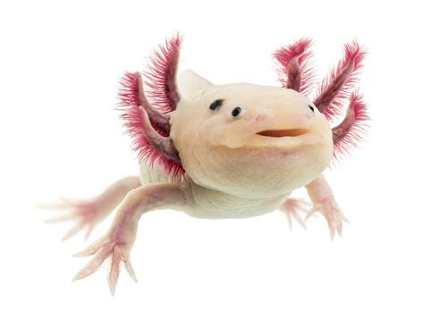 salamandra meksykańska