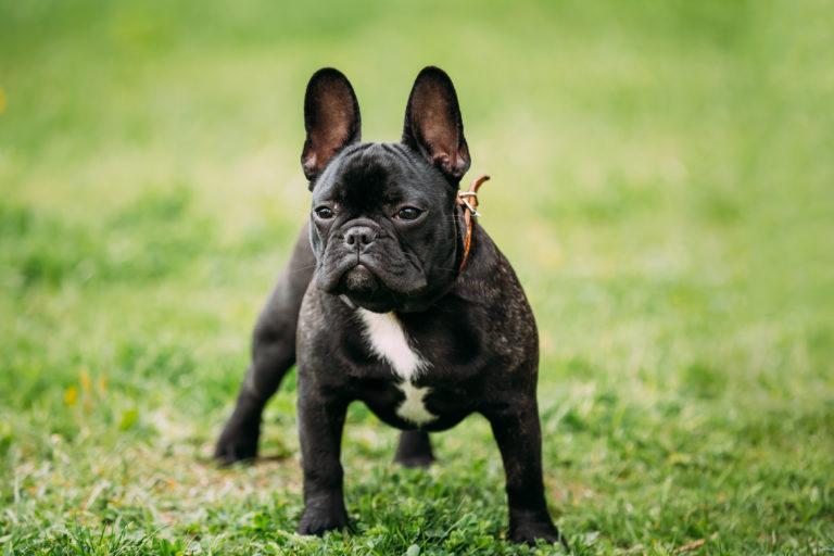 pies rasy buldog francuski