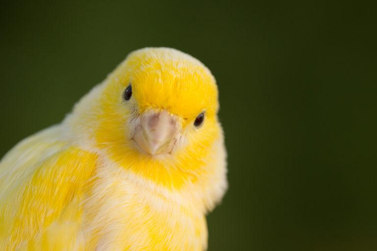 Żółty kanarek domowy