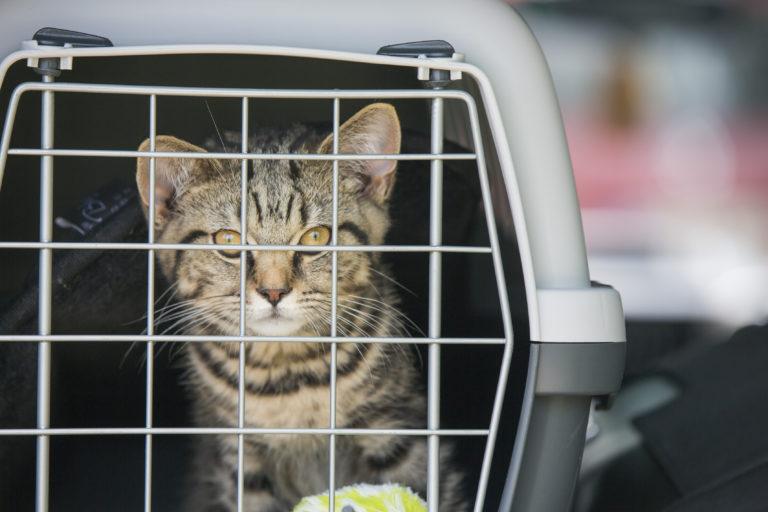 Kot w podróży samochodem