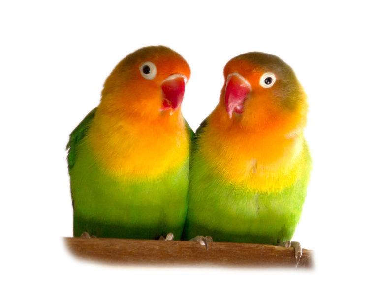 Papużka nierozłączka parka