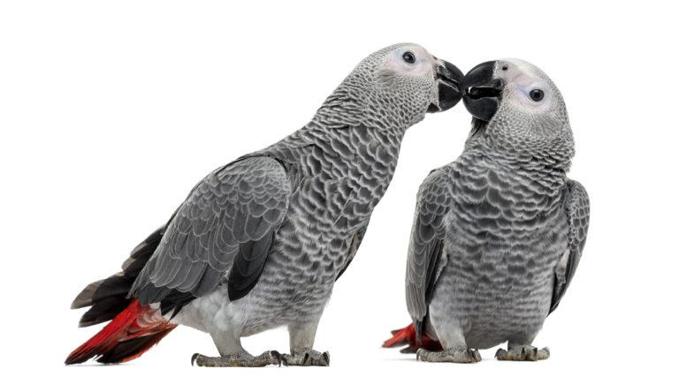 para szarych papużek