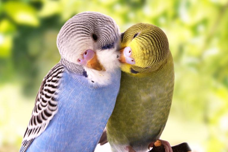 iskające się papużki faliste