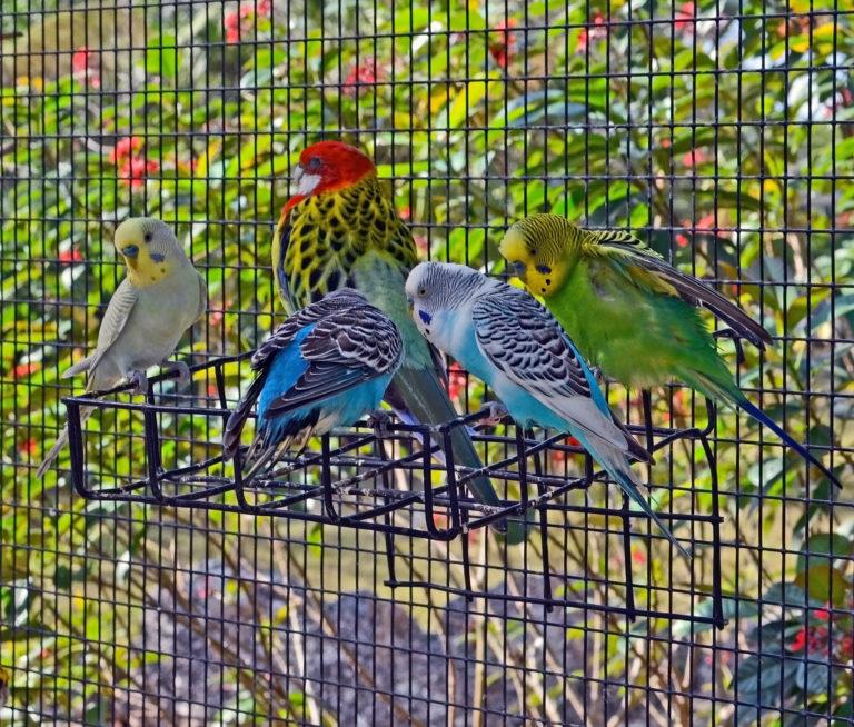 papużki w wolierze dla ptaków