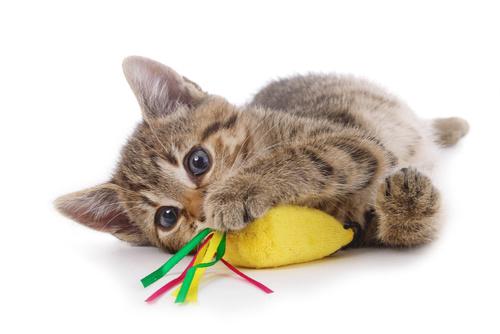 Zabawa kotów indoor