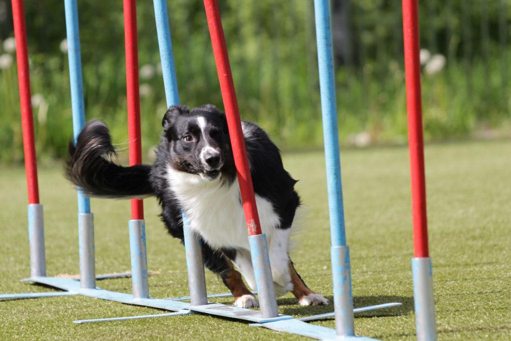 slalom do agility