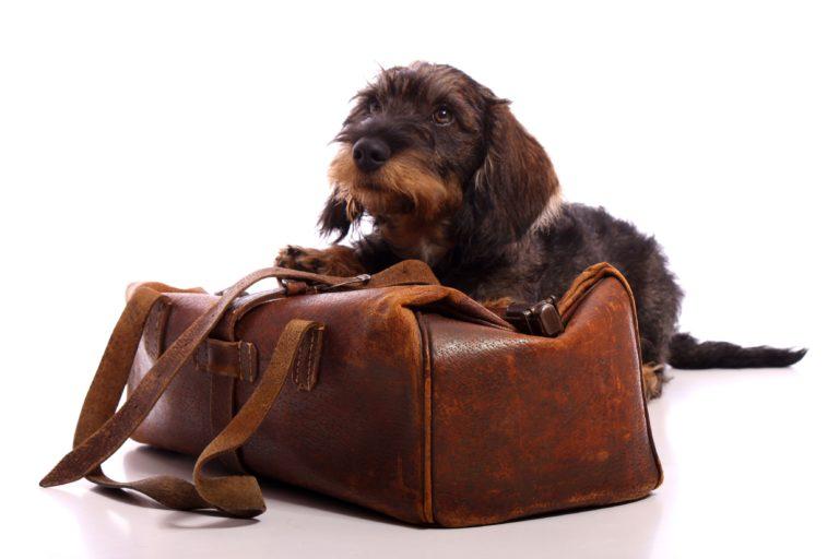 Choroba lokomocyjna u psów