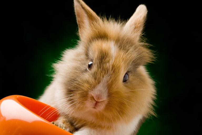 Pożywienie królika