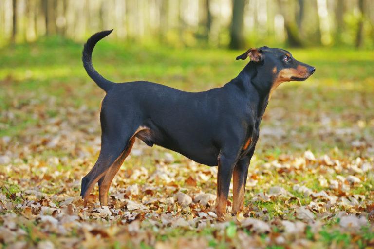 Pies rasy pinczer niemiecki