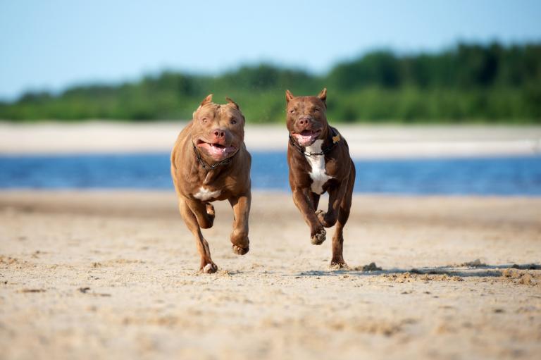 pit bull amerykański