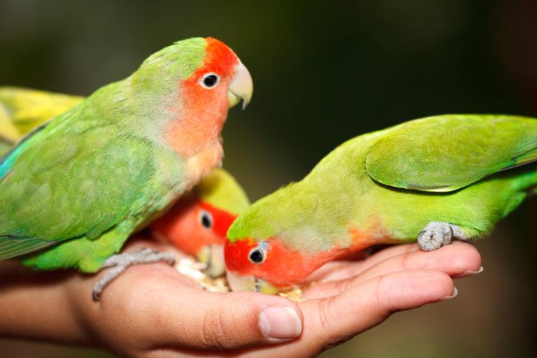 Jedzenie dla papużki nierozłączki