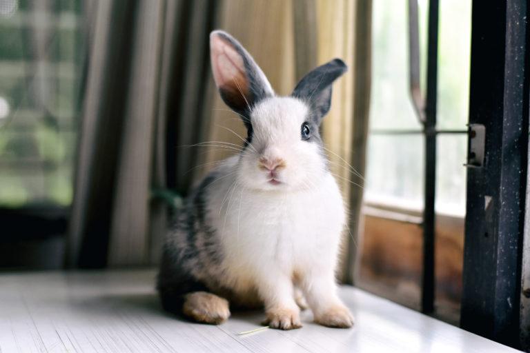 Hodowanie królika miniaturowego