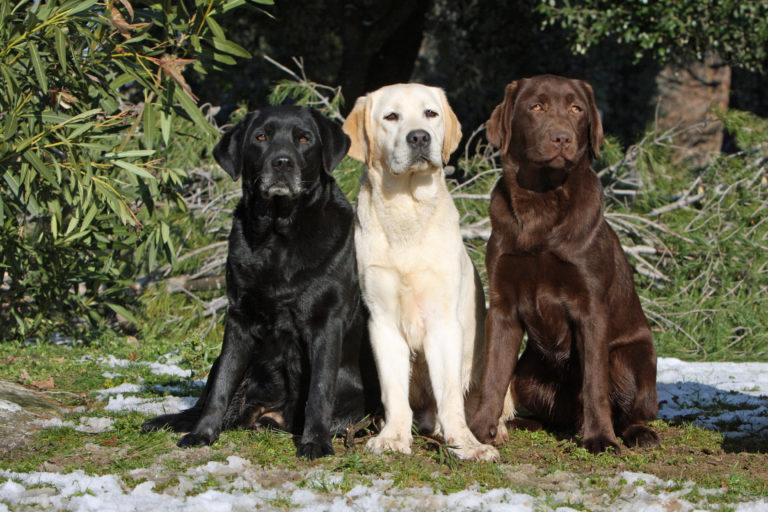 Trzy umaszczenia główne rasy Labrador Retriever