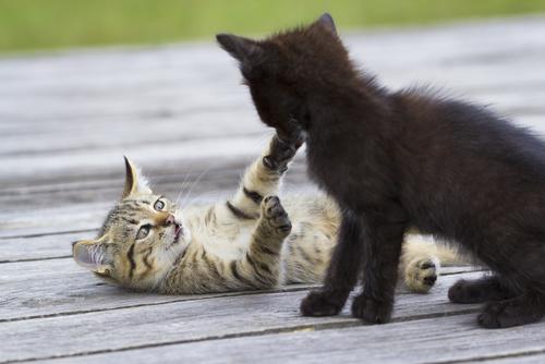 Bawiące się koty