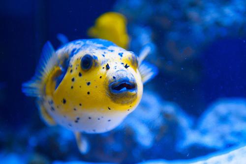 rodzina ryb rozdymkowatych