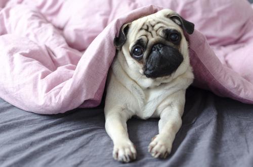 leczenie ciąży urojonej u psa