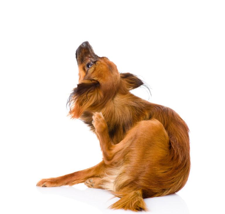 zapalenie grzybicze u psa
