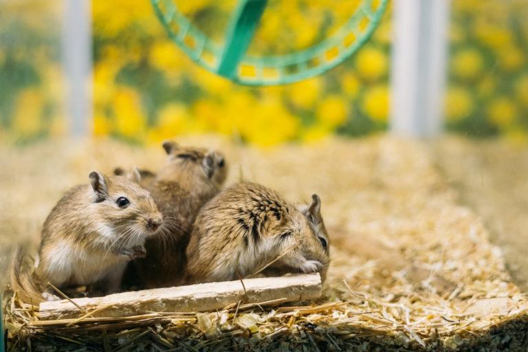 Akwarium dla myszoskoczka