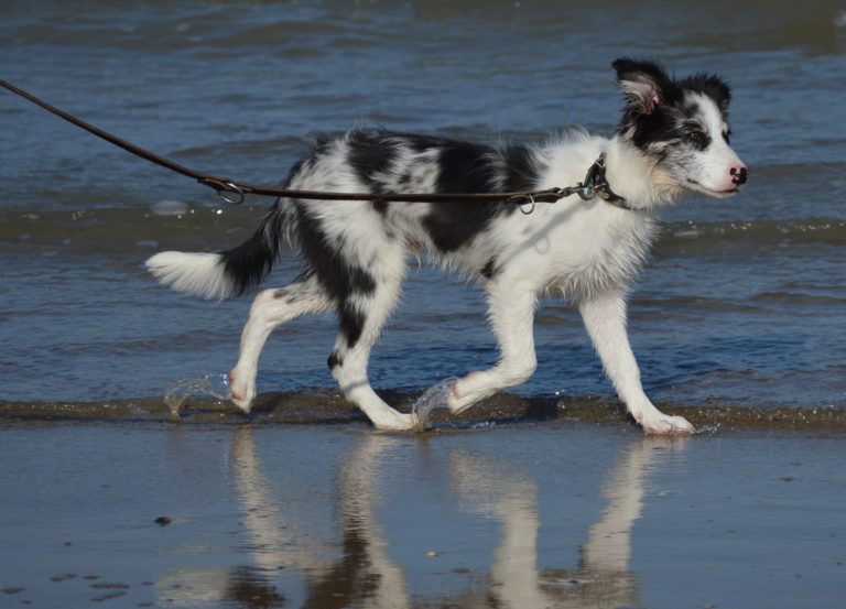 spacer z border collie