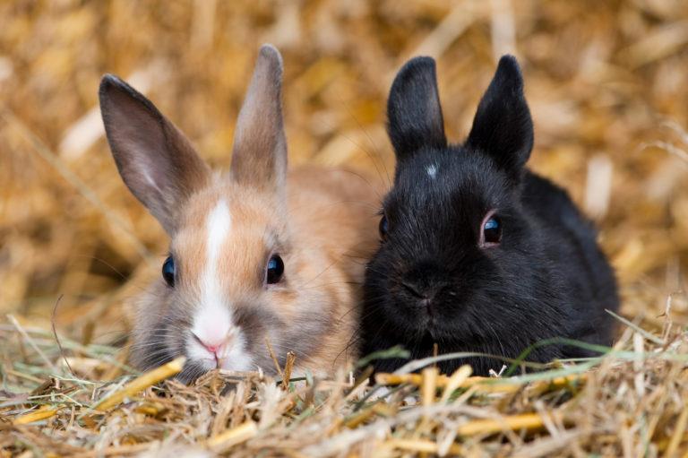 króliki miniaturowe