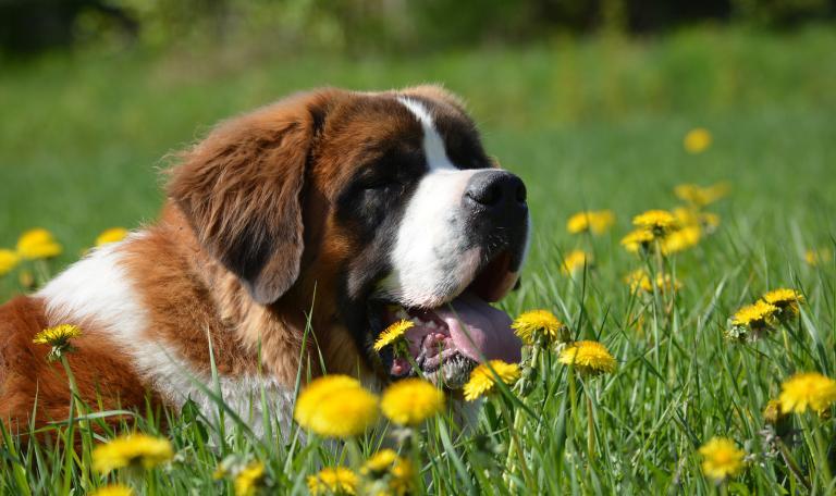 Bernardyn w kwiatach