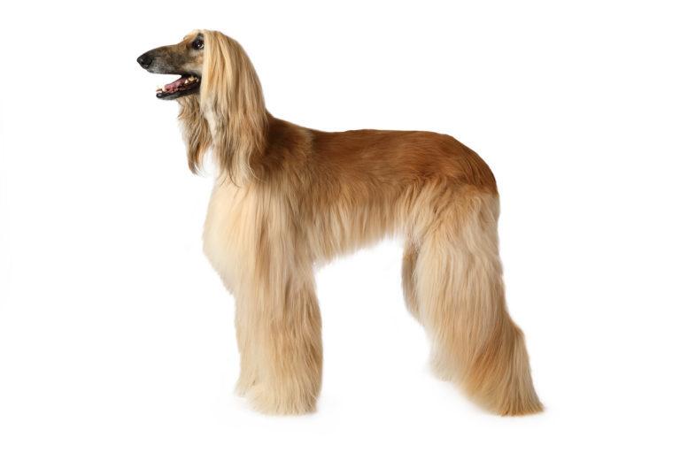 Purebred Afghan hound dog