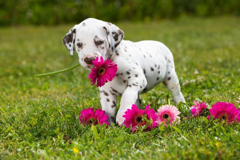 dalmatyńczyk szczenię kwiaty