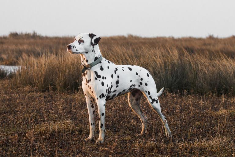 pies rasy dalmatyńczyk