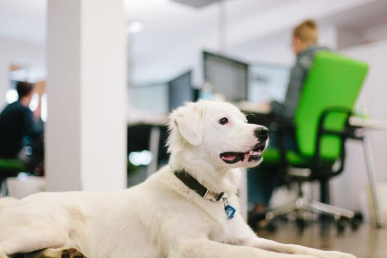 pies w biurze