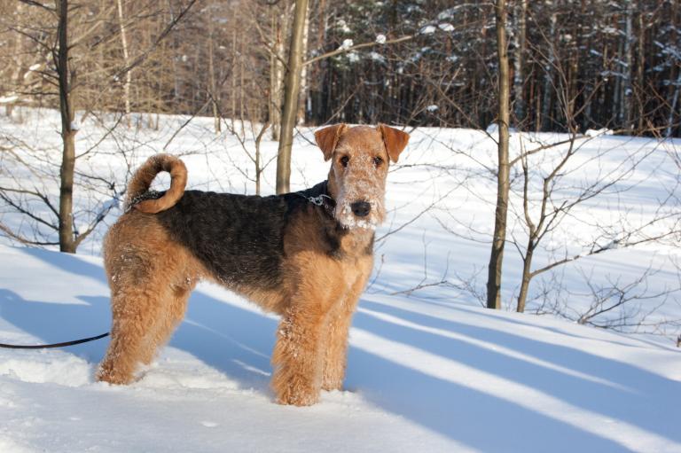 airedale terrier w śniegu