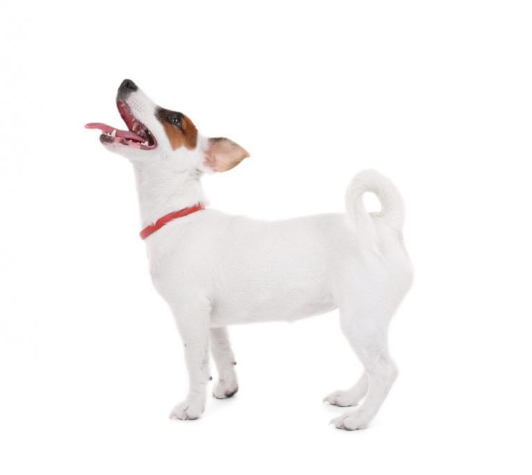 jack russell terrier rasa