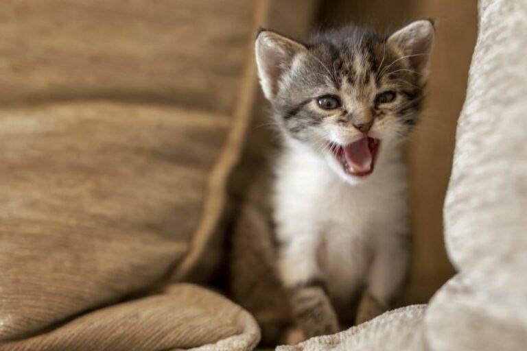miauczące kocię