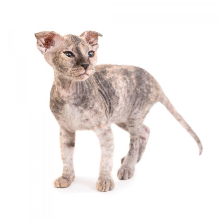 bezwłosa rasa kota