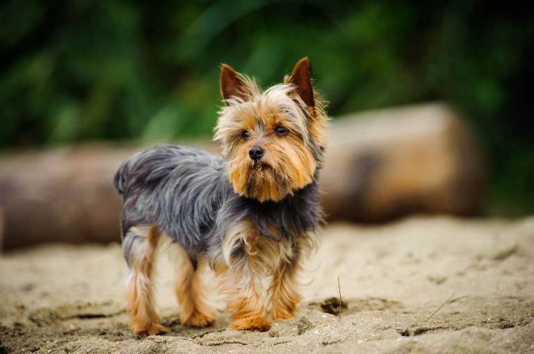 rasa yorkshire terrier