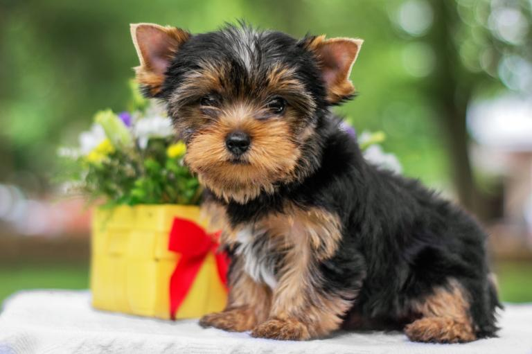 szczenię yorkshire terrier