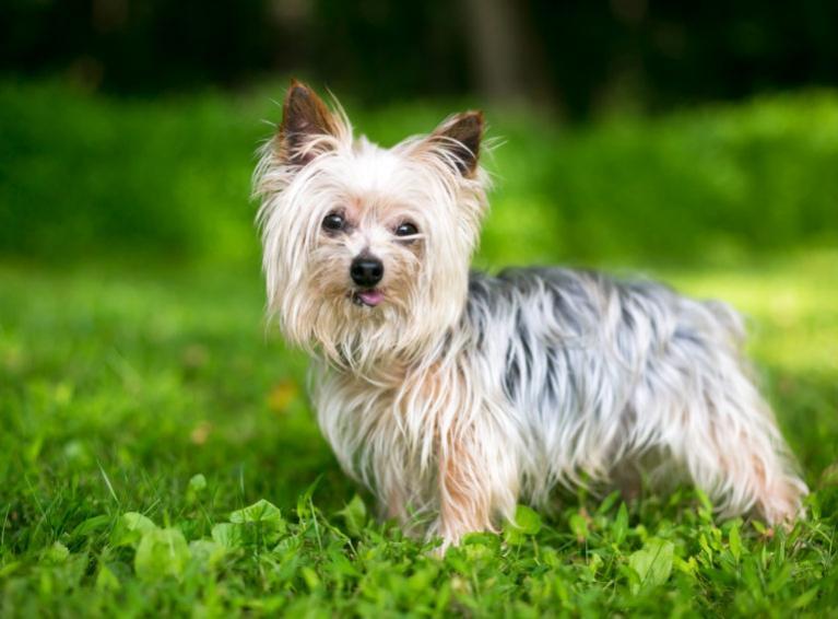 yorkshire terrier rasa psa