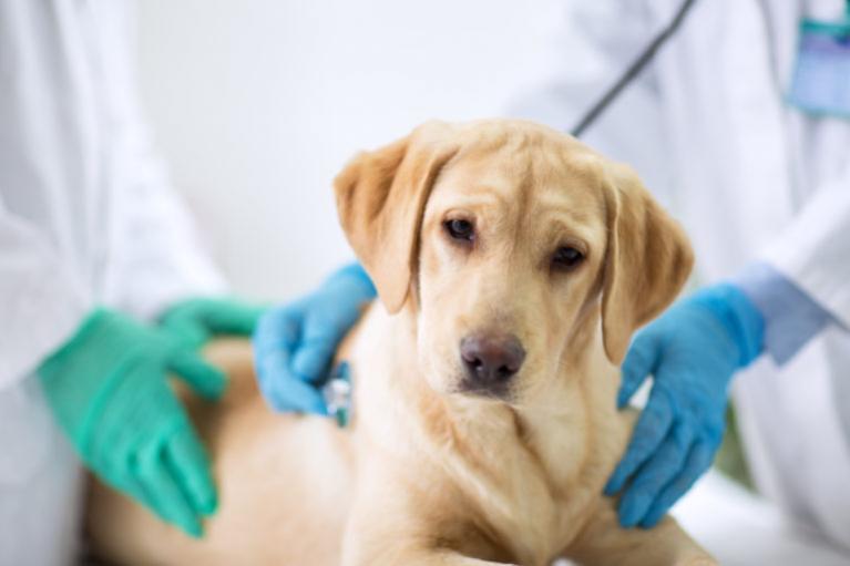 psia biegunka