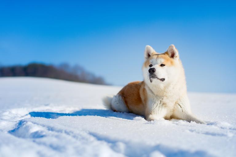 Pies Akita w zimie