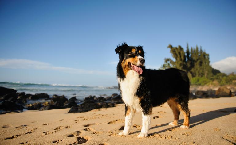 owczarek australijski na piasku
