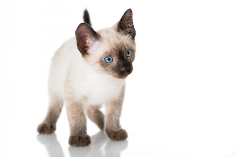 kocię kota syjamskiego