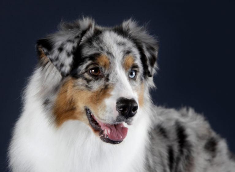 owczarek australijski rasa psa