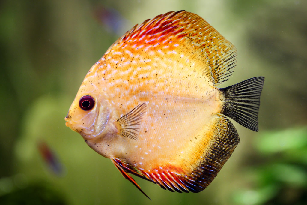 Symphysodon w akwarium