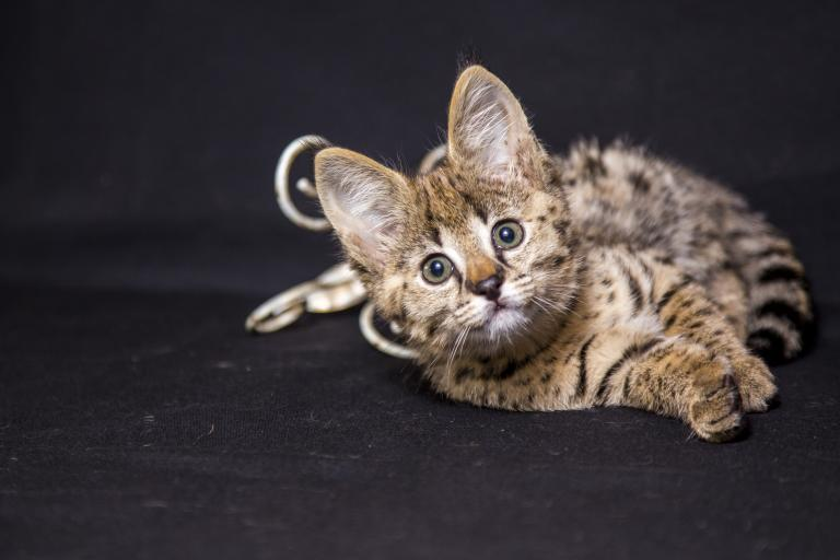 rasy hybrydowe kotów — savannah