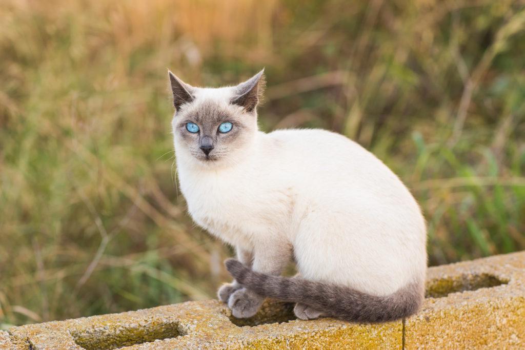 biały kot syjamski
