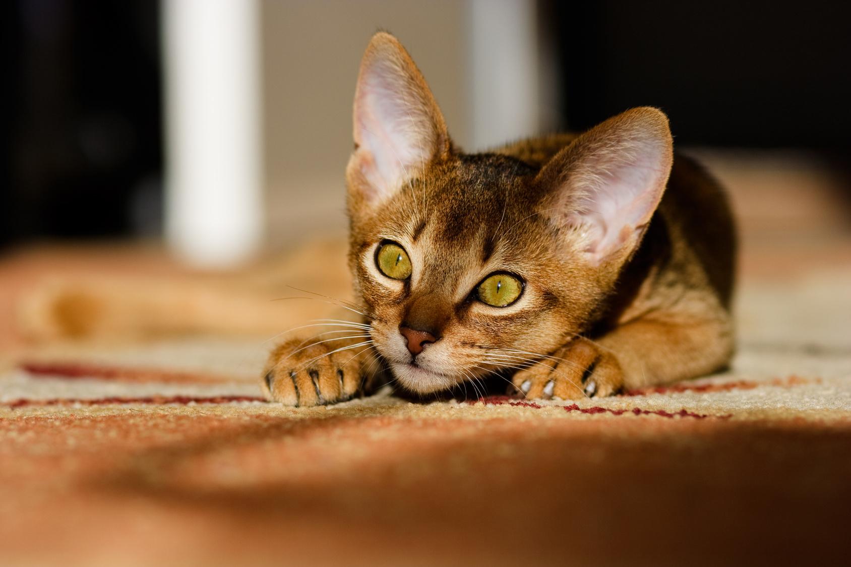 młody kot abisyński