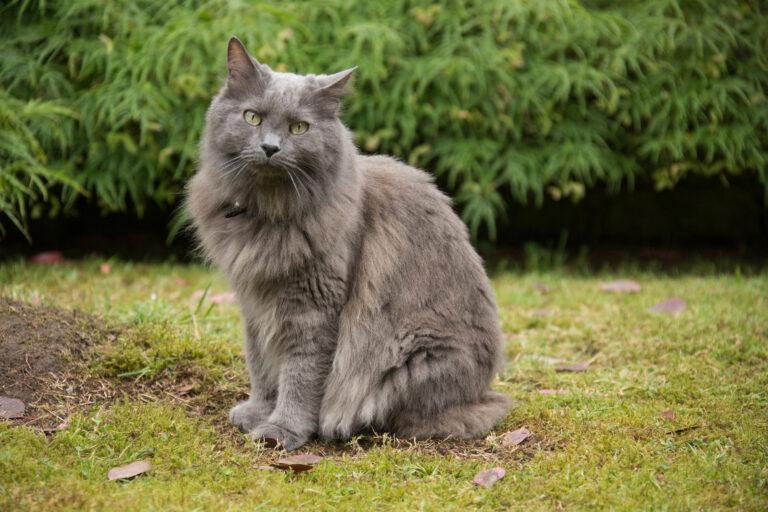kot rasy nebelung w ogrodzie