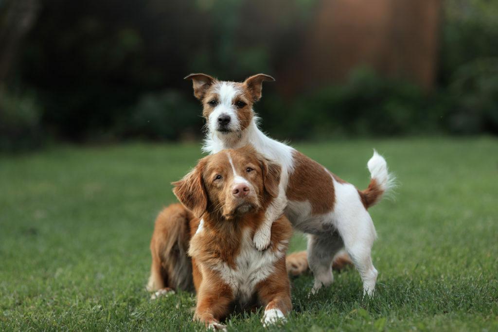Jack Russell Terrier i Nova Scotia Duck Tolling Retriever