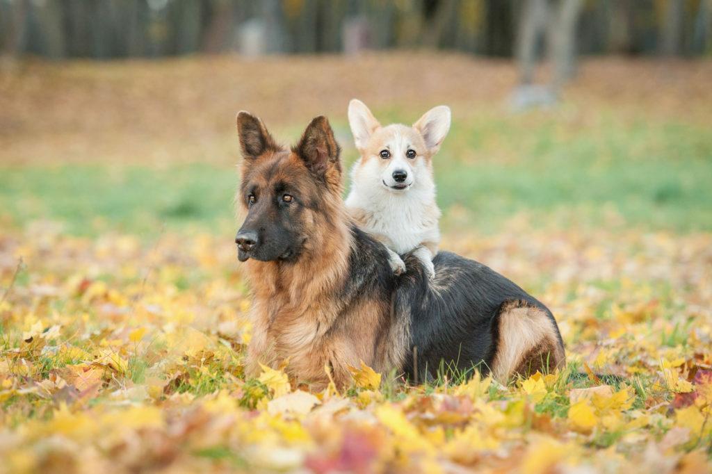 owczarek i corgi jesienią