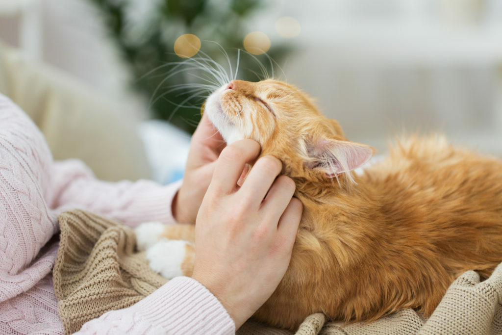 rudy kot mruczy