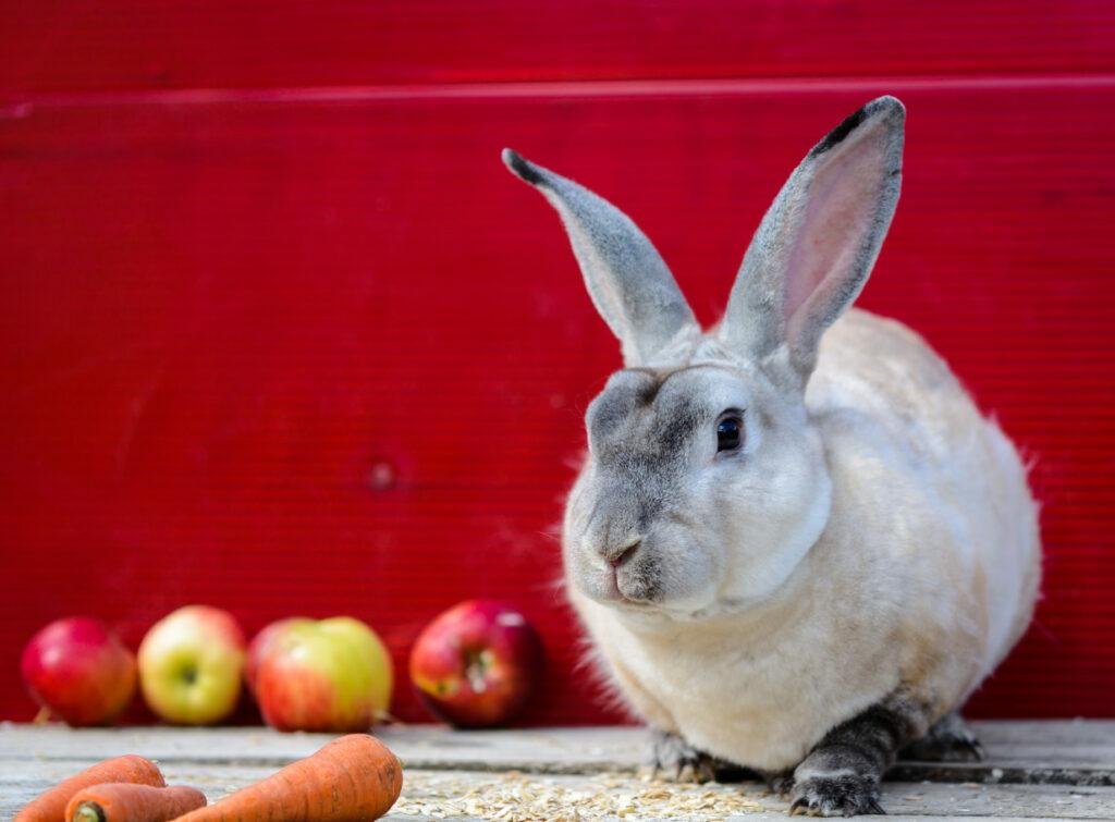 biały królik rasy reks